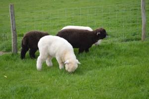 2013 lambs