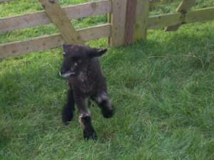 lambs 2010 010